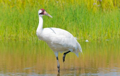 $5,000 reward offered in latest Whooping Crane shooting