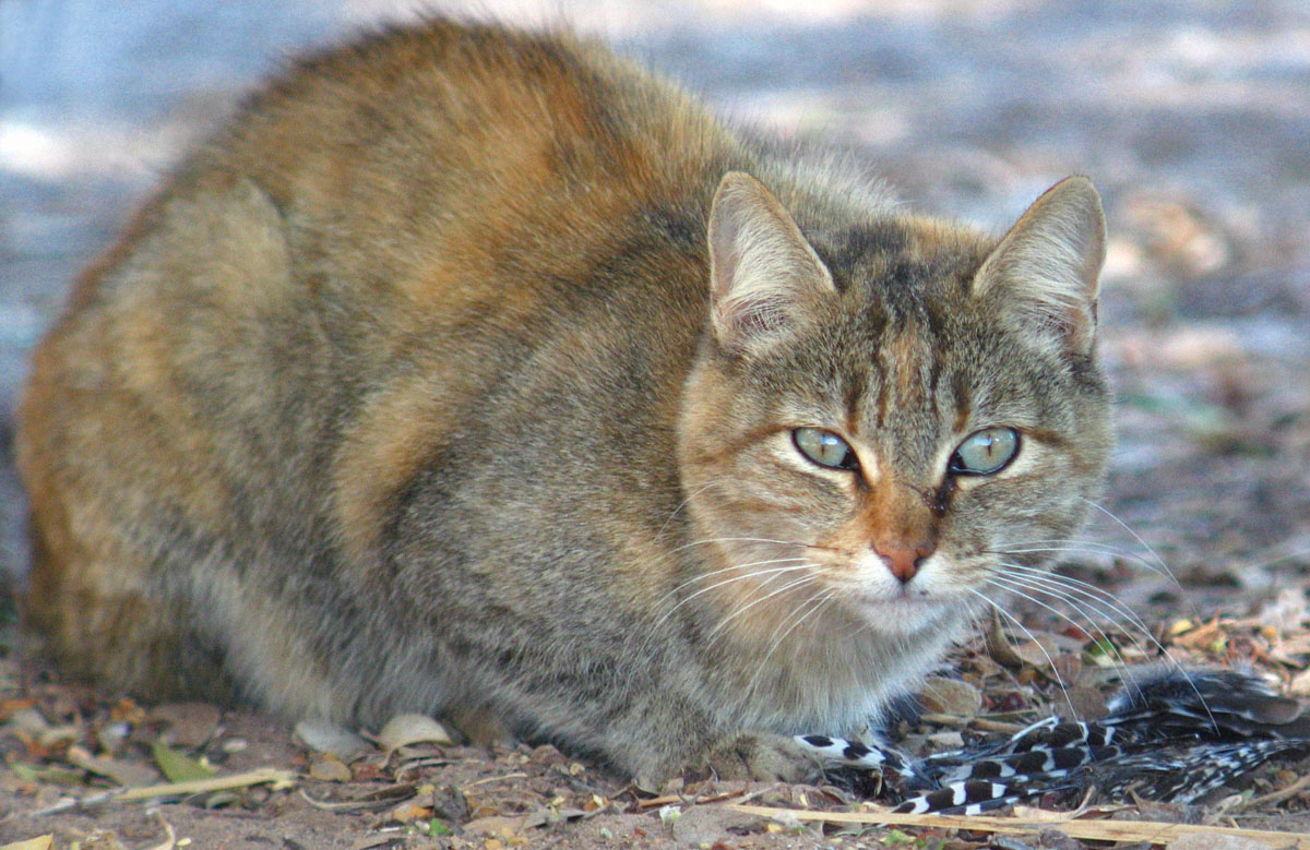 A feral cat guards the remains of a Gila Woodpecker that it killed.