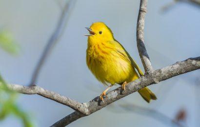 Yellow Warblers' special cowbird alarm alerts blackbirds