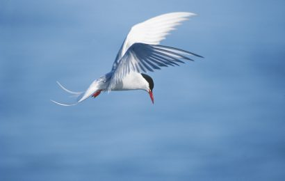 Five bird species that migrate great distances