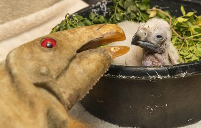 Vulture chick 'gives us hope in a time of extreme uncertainty'