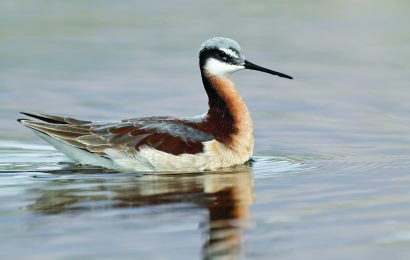 Identifying Wilson's Phalarope