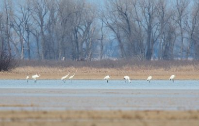 Study: Large flocks of Whooping Cranes not a good sign for the species