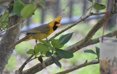 Rare yellow cardinal spotted after girls set out homemade feeder