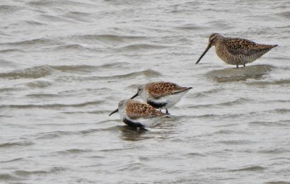 Dunlins and Long-billed Dowitcher