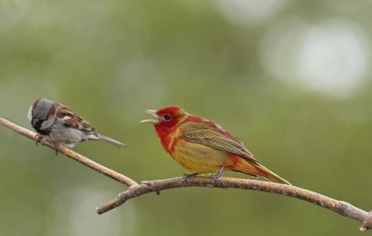 Summer Tanager and House Sparrow