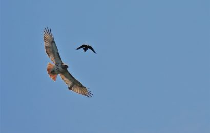 Red-tailed Hawk and Common Grackle