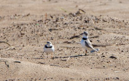 Piping Plovers return to Chicago beach