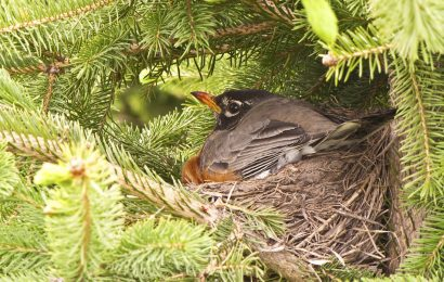 Why robins sit on empty nests