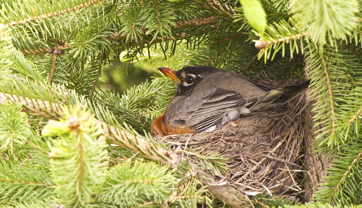 A female robin sits on her nest.