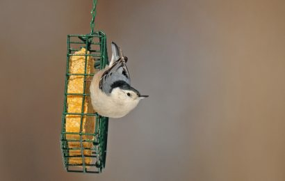 What birders should know about GMO products in bird food