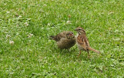 Song Sparrow and Brown-headed Cowbird