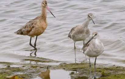 Marbled Godwit and Willets