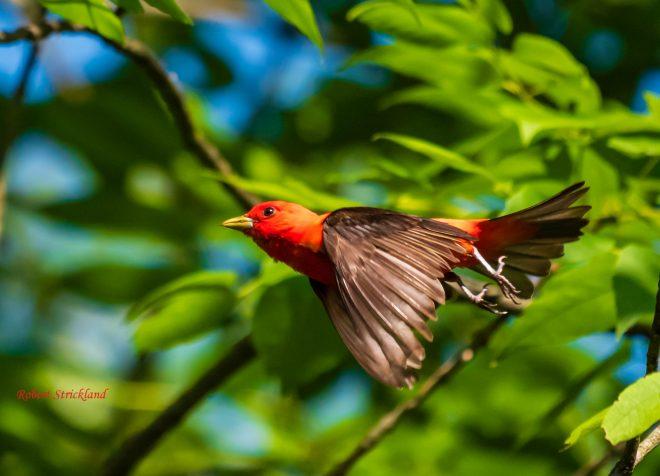 Scarlet Tanager - BirdWatching