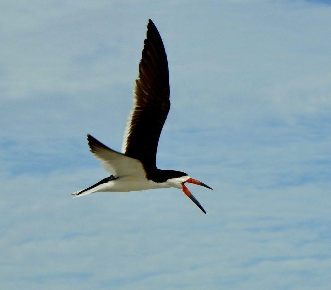 Black Skimmer - BirdWatching