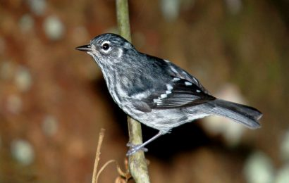 At long last, habitat protected for Puerto Rican songbird