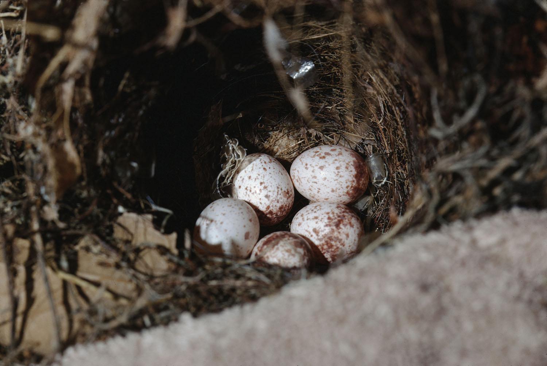 A Carolina Wren nest