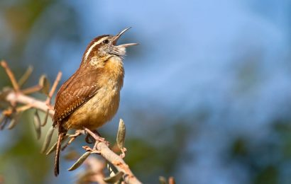 A year with Carolina Wrens