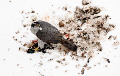 2020 BirdWatching Photography Awards second place: Northern Goshawk