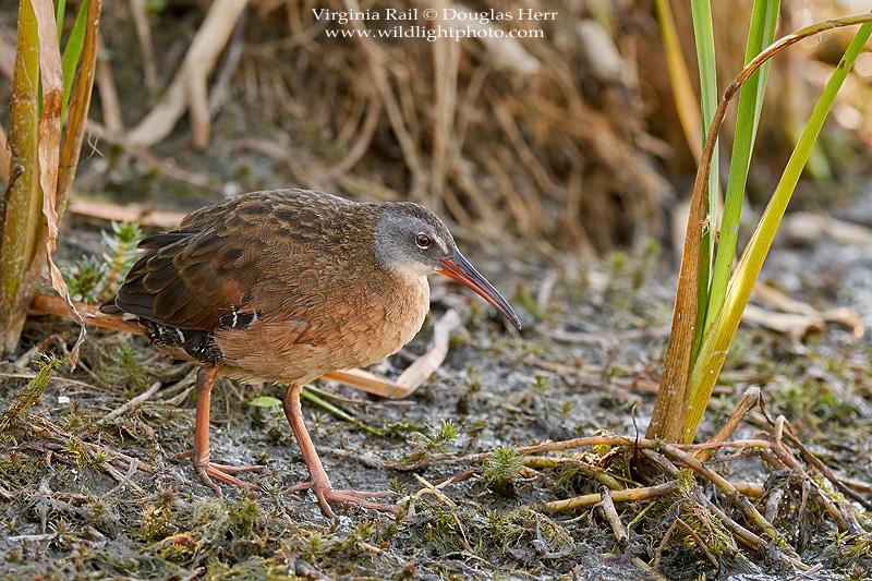Virginia Rail - BirdWatching