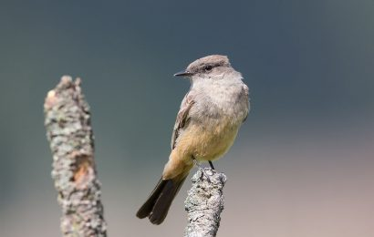 Say's Phoebe: North America's subtle songster