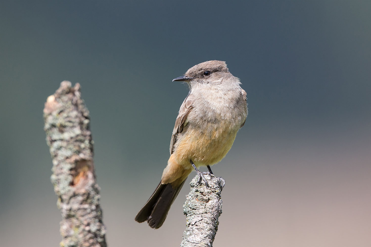 Say's Phoebe. Photo by Double Brow Imagery/Shutterstock