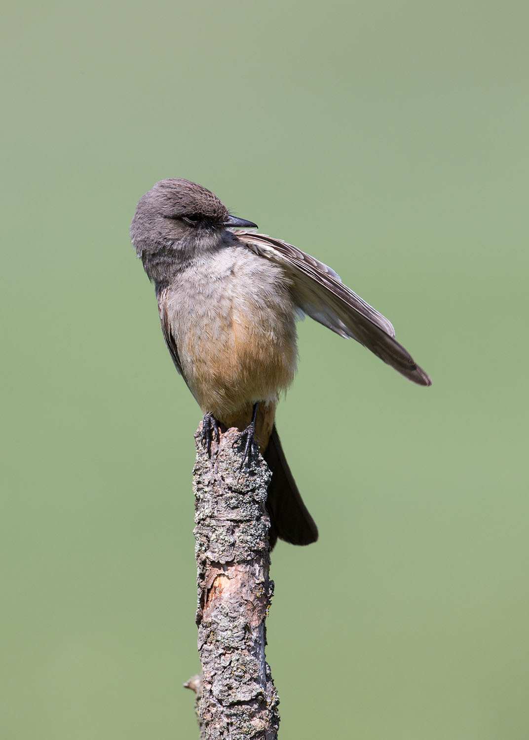Say's Phoebe preening its feathers.