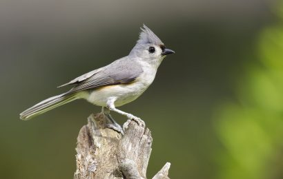 Identifying North America's five titmouse species