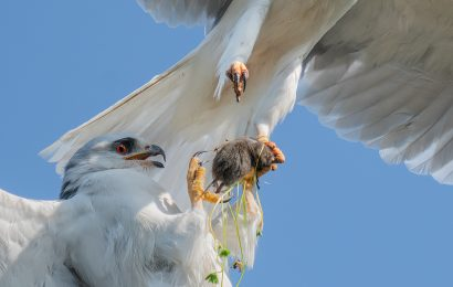 2020 BirdWatching Photography Awards first place: White-tailed Kites