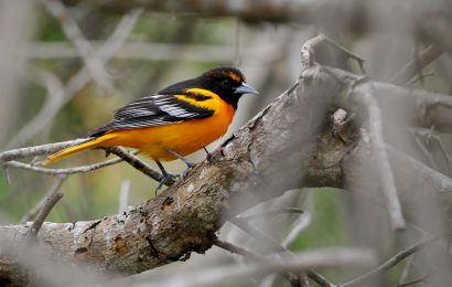 Study: Hybrid orioles not a sign of species merging
