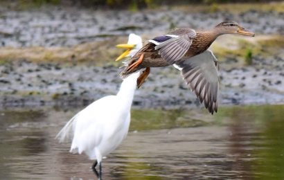 Mallard and Great Egret
