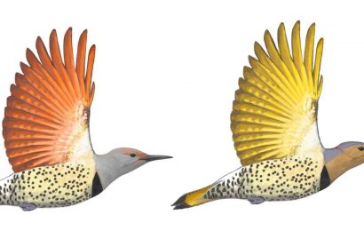 Northern Flicker's fascinating color differences explained
