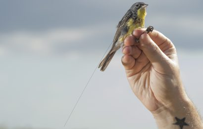 Study finds long-distance movements by Kirtland's Warblers during breeding season