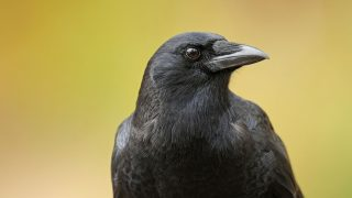 American Crow, one of North America's most widespread bird species, is also one of its smartest.