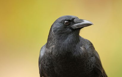 The clever, amazing behaviors of crows