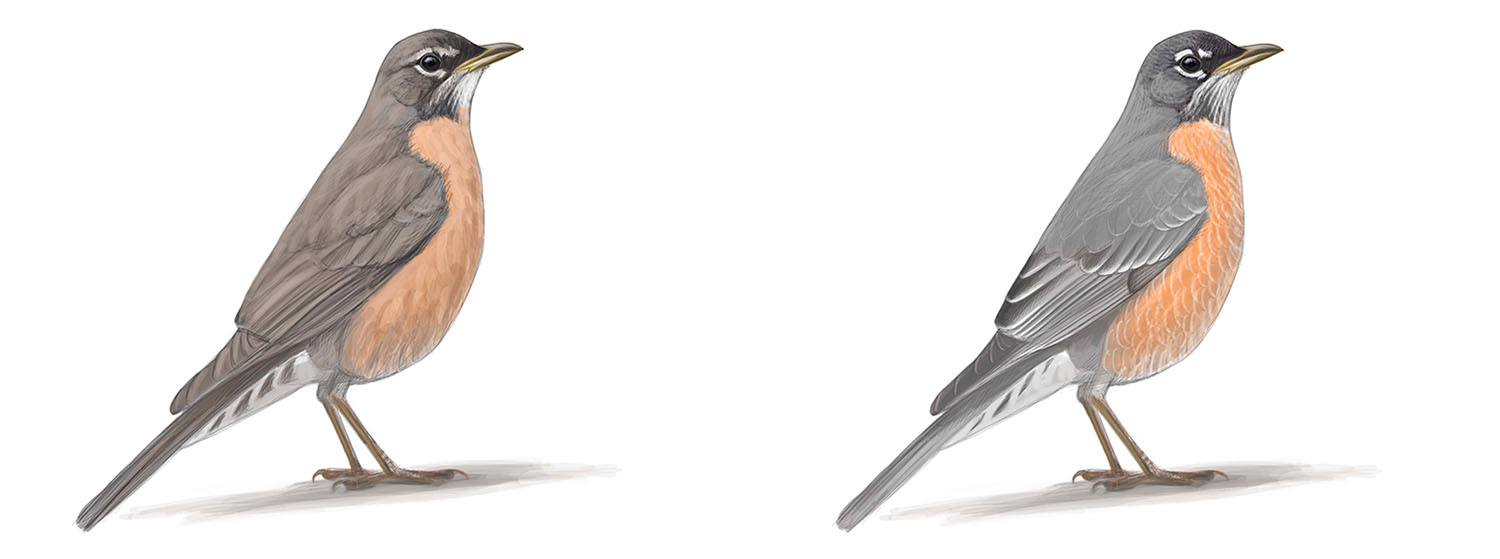 A FAMILIAR BIRD TRANSFORMED: A female American Robin in worn plumage (left, typical of July) and fresh plumage (right, typical of October).