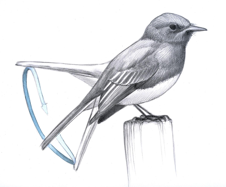 birds pump their tails
