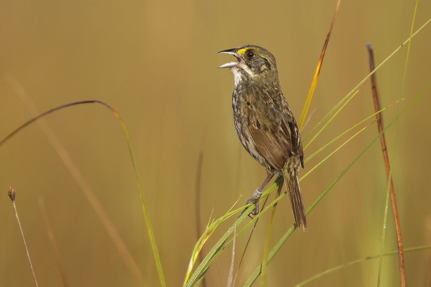 """""""Cape Sable"""" Seaside Sparrow, adult. April in Everglades National Park, Florida. Photo by Brian E. Small"""