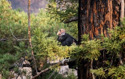 After fire, 9 adult condors missing in California
