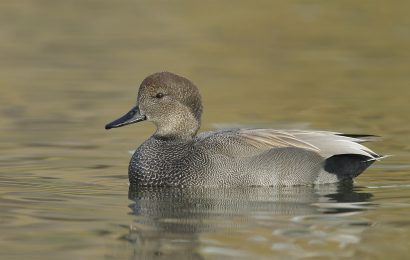 Identifying Gadwall