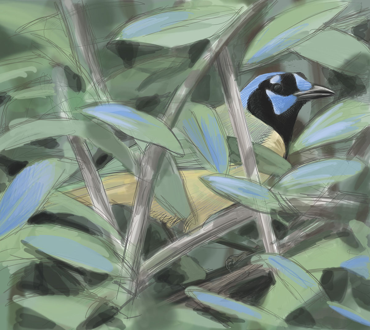 A GLIMPSE: Tropical birds such as a Green Jay skulking in vegetation can be surprisingly hard to see. Art by David Sibley