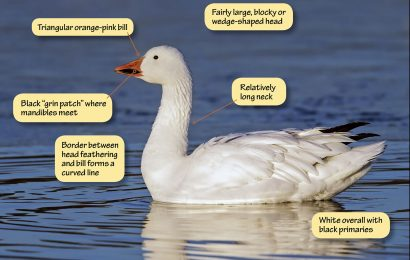 Identifying Snow Goose and Ross's Goose