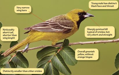 Identifying Orchard Oriole