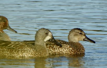 Blue-winged and Green-winged Teal