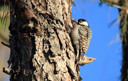 Updates on endangered woodpecker, rail, crow, and sage-grouse