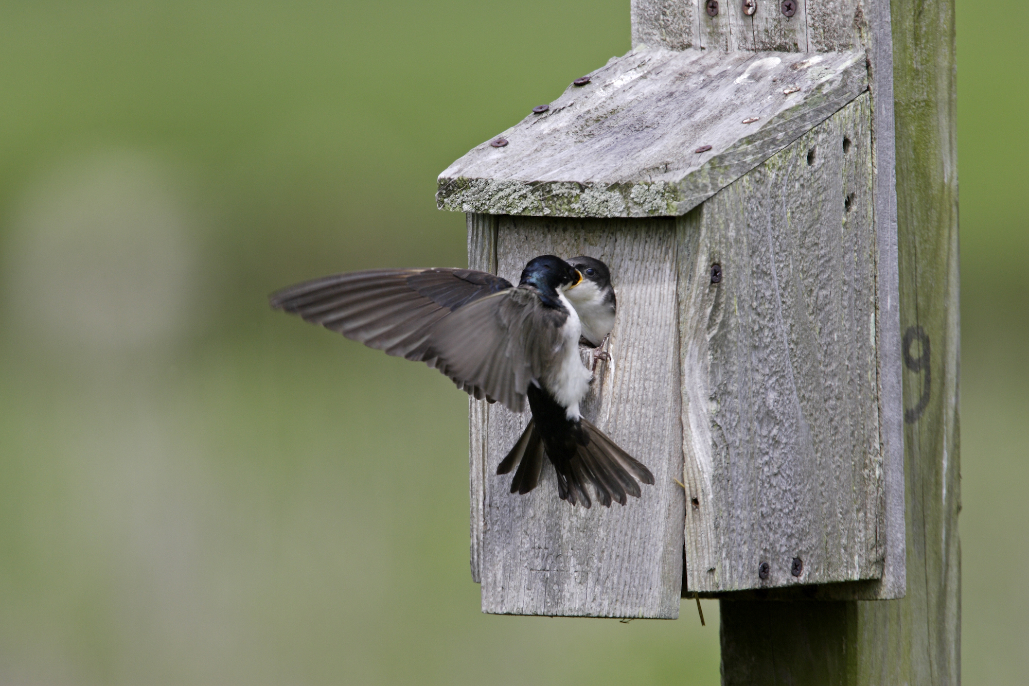 early nesting