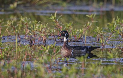 A last glance at summer before Wood Ducks depart