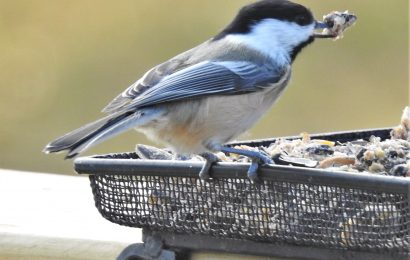 Birds not dependent on feeders, study suggests