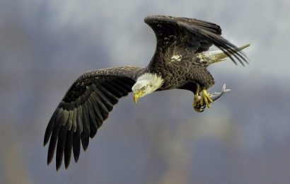 Tips for photographing hawks, eagles, Ospreys, and other raptors