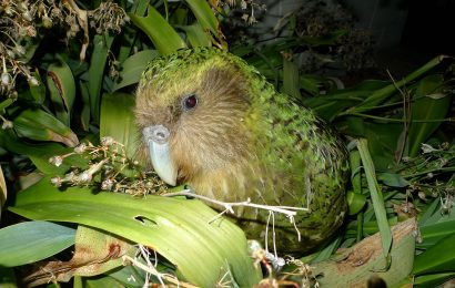 Kākāpō voted winner of New Zealand's Bird of the Year contest